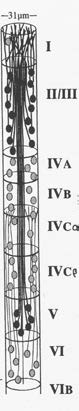 A conceptual drawing of a mini-column (from Peters and Yilmez). In reality is skinnier than this. Note there are multiple neurons in each layer in the column. All the neurons in a mini-column will respond to similar inputs. For example, in the drawing of a section of V1 shown previously, a mini-column will contain cells that respond to lines of a particular orientation with a particular ocular dominance preference. The cells in an adjacent mini-column might respond to a slightly different line orientation or different ocular dominance preference.