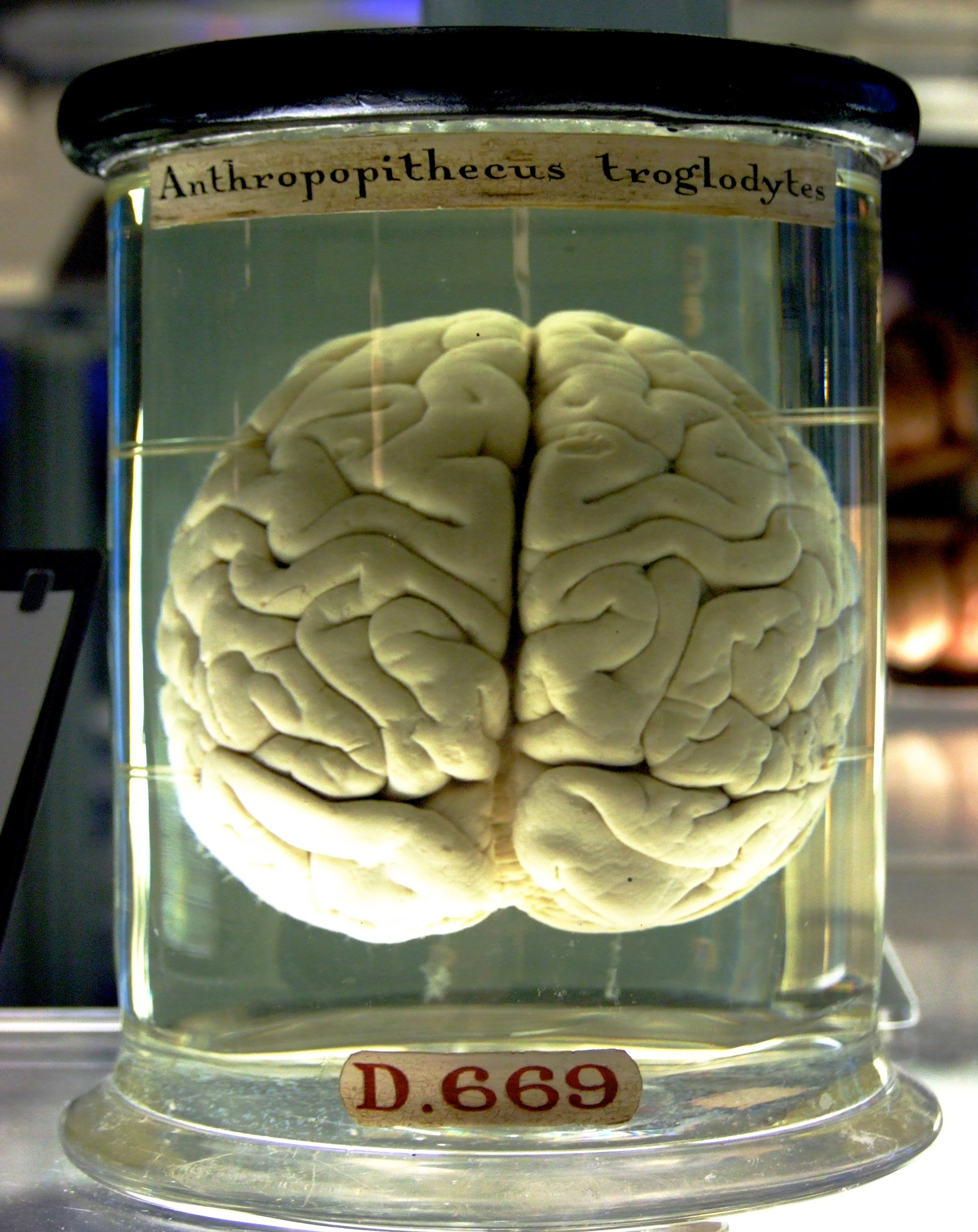 A chimpanzee brain preserved in a jar