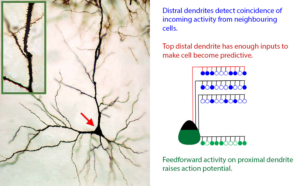 Real (left) and CLA model (right) neurons